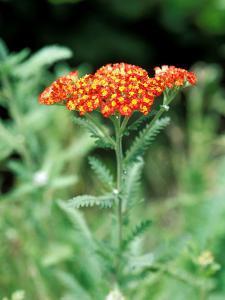 """Achillea """"Walter Funke,"""" Close-up of Flower Head and Foliage by Lynn Keddie"""