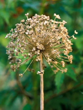 Allium Hollandicum, Close-up of Seed Head, September