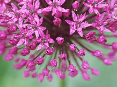 """Allium Hollandicum """"Purple Sensation"""""""