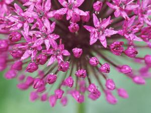 """Allium Hollandicum """"Purple Sensation"""" by Lynn Keddie"""