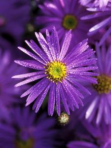 """Aster Frikartii """"Monch"""" Close-up of Purple Flower with Due by Lynn Keddie"""