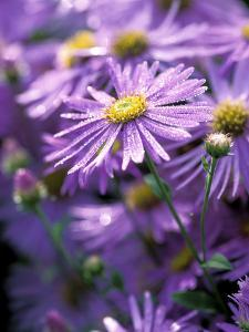 "Aster Frikartii ""Monch"" Close-up of Purple Flowers with Due by Lynn Keddie"