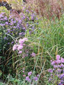 Aster (Frost Flower) and Miscanthus (Ornamental Grass), Plants in an Autumn Border by Lynn Keddie
