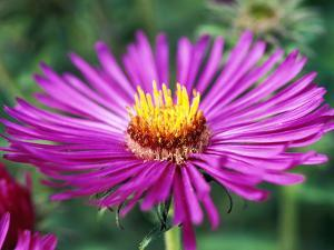 "Aster Novae Angliae ""Lou Williams,"" Pink Flower Head, September by Lynn Keddie"