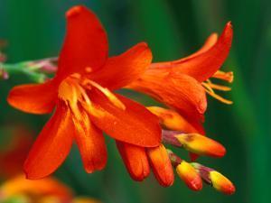 "Crocosmia ""Walberton Red,"" Close-up of Red Flower Heads by Lynn Keddie"