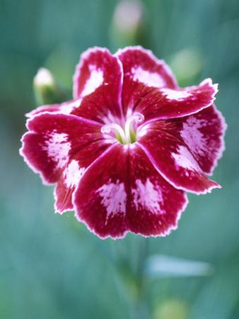 Dianthus Calypso Star