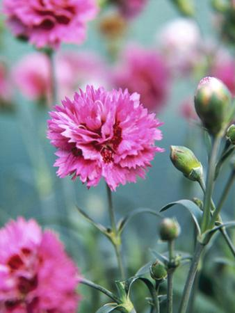 Dianthus Morning Star (Pinks), Pink Flowers on Atop Stems, Whetman Pinks Ltd National Collection