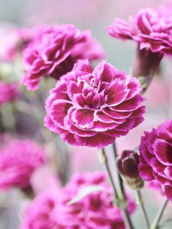 Dianthus Washington, Collection of Pink Flowers, Whetman Pinks Ltd National Collection