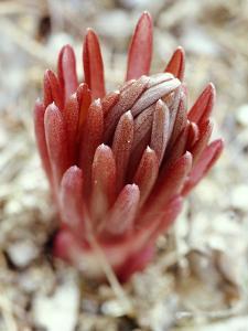 Eremurus Buds (Desert Candle), February Perennial by Lynn Keddie