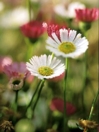 Erigeron Karvinskianus, Close-up of White/Red Flower Heads