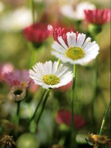 Erigeron Karvinskianus, Close-up of White/Red Flower Heads by Lynn Keddie