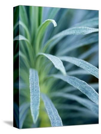 """Euphorbia Characias """"Wulfenii"""""""