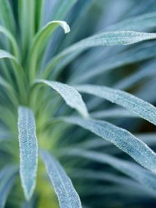 """Euphorbia Characias """"Wulfenii"""" by Lynn Keddie"""