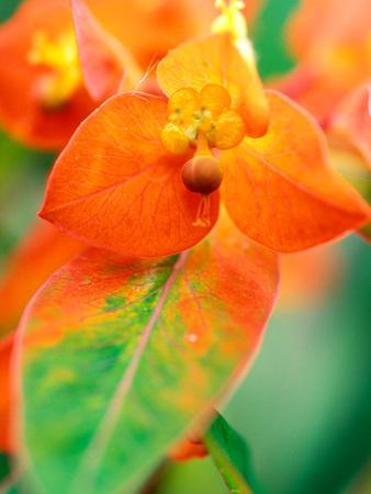 "Euphorbia Griffithii ""Fireglow,"" Close-up of Orange Flower Bract"