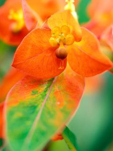 "Euphorbia Griffithii ""Fireglow,"" Close-up of Orange Flower Bract by Lynn Keddie"