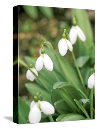 "Galanthus ""Augustus"" (Snowdrop) February Bulb"