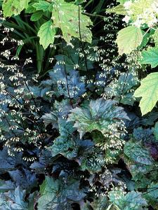 """Heuchera Micrantha Diversifolia """"Palace Purple,"""" Purple Flowers and Foliage by Lynn Keddie"""