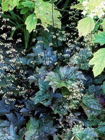 """Heuchera Micrantha Diversifolia """"Palace Purple,"""" Purple Flowers and Foliage"""