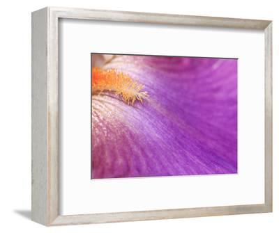 Iris Vague L'Aime, Close-up of Purple Flower