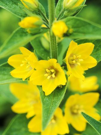Lysimachia Punctata Close-up of Yellow Flower Head