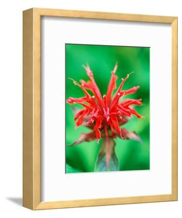 "Monarda ""Cambridge Scarlet"" (Bee Balm), Close-up of Red Flower"