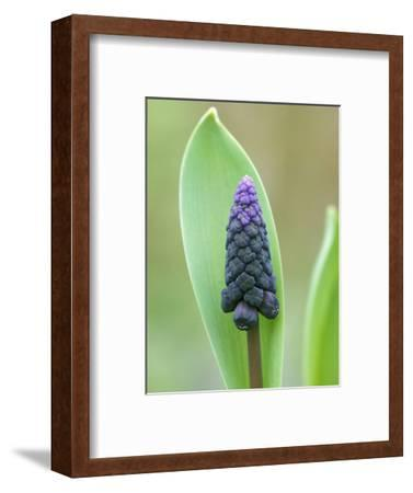 Muscari Latifolum (Grape Hyacinth), Spring-Flowering Bulb, Bell Shaped Blackish-Violet Flower