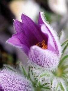 Pulsatilla Vulgaris Pasque Flower by Lynn Keddie