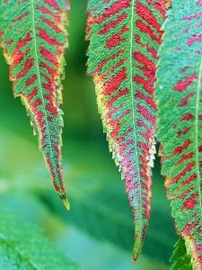 Rhus Typhina Leaves Red/Green, Stags Horn Sumach, October by Lynn Keddie