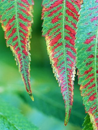 Rhus Typhina Leaves Red/Green, Stags Horn Sumach, October