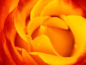"""Rosa """"Dicobey"""" (Rosa """"Tequila Sunrise"""") by Lynn Keddie"""