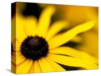 "Rudbeckia ""Deamii,"" Close-up of Yellow Flower Head"