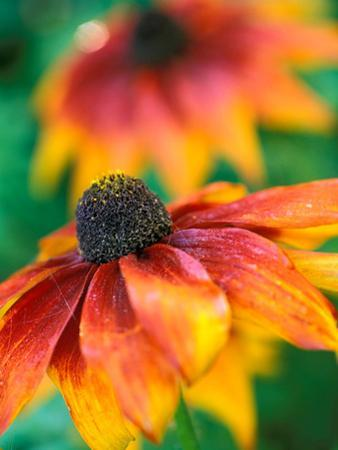 "Rudbeckia ""Gloriosa Daisies,"" Close-up of Flower Head"