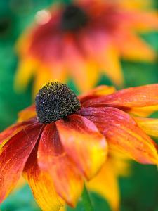 "Rudbeckia ""Gloriosa Daisies,"" Close-up of Flower Head by Lynn Keddie"