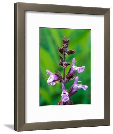 "Salvia Officinalis ""Purpurascens,"" Close-up of Purple Flower Head"