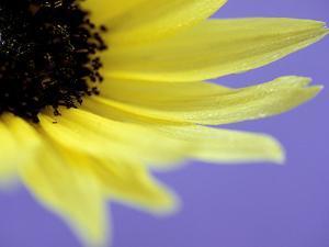 Sunflower Close-up with Blue Background Summer by Lynn Keddie