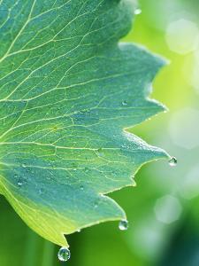 Water Droplets on Leaf by Lynn Keddie