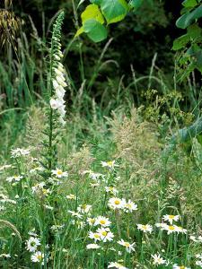 White Foxglove, Ox-Eye Daisy and Grasses by Lynn Keddie