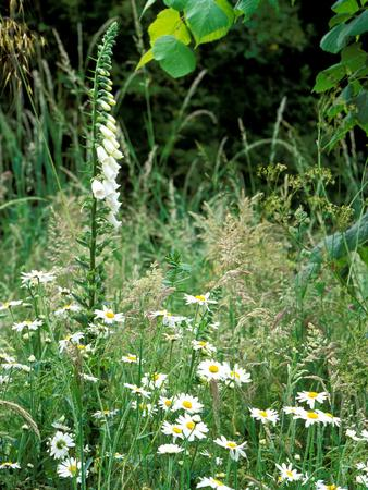 White Foxglove, Ox-Eye Daisy and Grasses