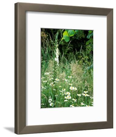 White Foxglove, Ox-Eye Daisy and Grasses