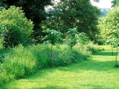 Wild Garden with Young Large Leaf Lime Tree Planted Amongst Long Grass and Wildflowers