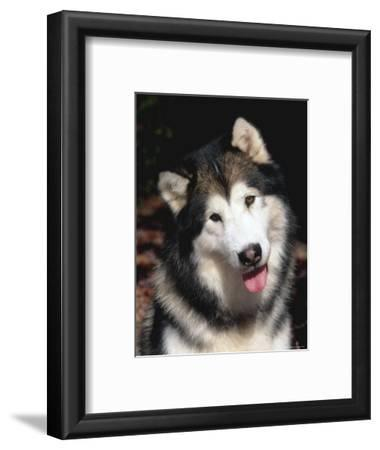 Alaskan Malamute Dog Portrait, Illinois, USA