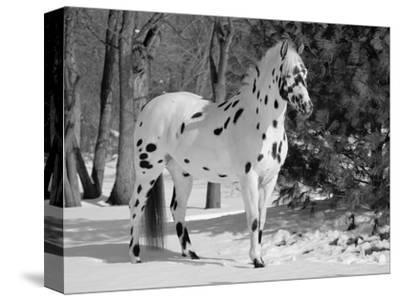 Appaloosa Horse in Snow, Illinois, USA