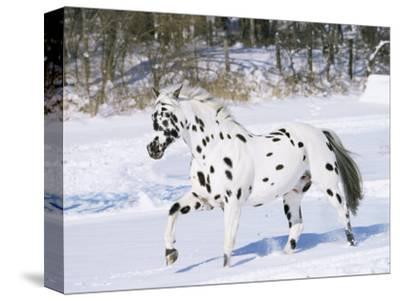Appaloosa Horse Trotting Through Snow, USA