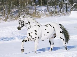 Appaloosa Horse Trotting Through Snow, USA by Lynn M^ Stone