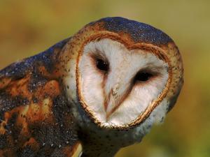 Barn Owl Portrait by Lynn M. Stone