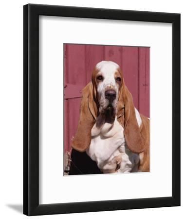 Basset Hound Breed, USA, North America