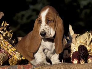 Basset Hound Puppy by Lynn M^ Stone