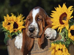 Bassett Hound Pup with Sunflowers by Lynn M. Stone