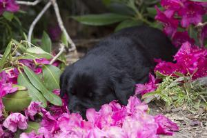 Black Labrador Retriever Pup by Lynn M. Stone
