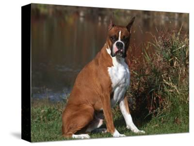 Boxer Dog Sitting, Illinois, USA